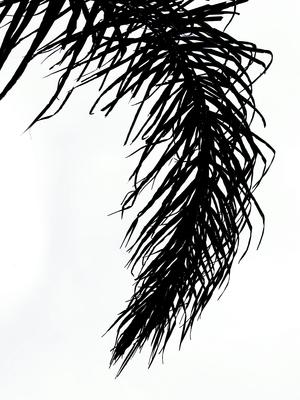 Folhagem do coqueiro 2