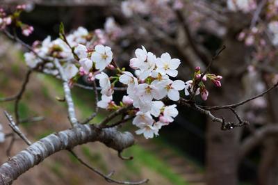 serie flores Sakura