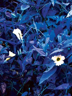 Flores_Azul