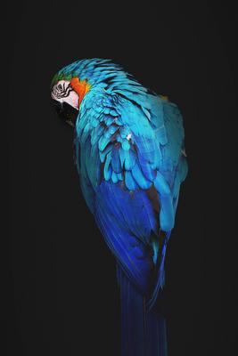 Arara azul - 2020