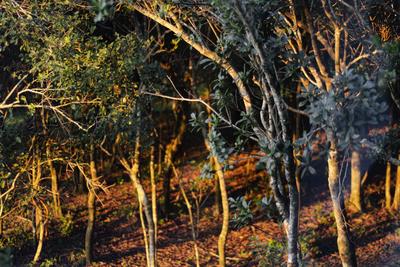 Raios florestais
