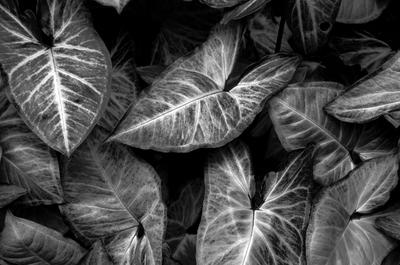 Plantas dark