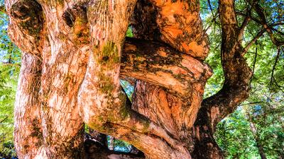 Tronco - Árvore
