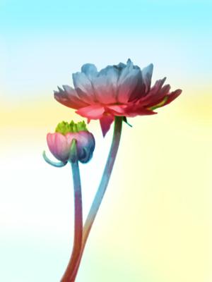 Flor Singela