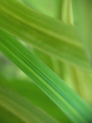 Folhas de Bambu ao vento