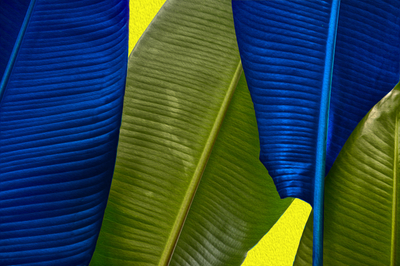 Folhas de Bananeiras