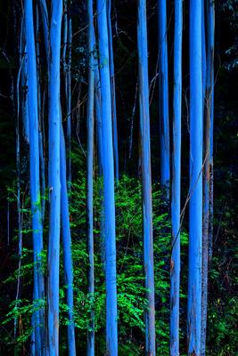 Eucalipto Noturno