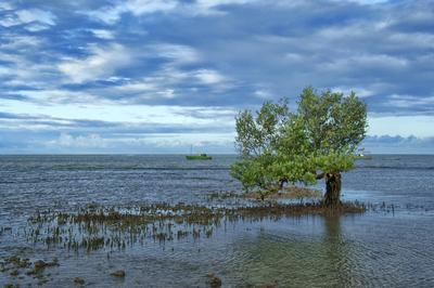 Árvore de Manguezal