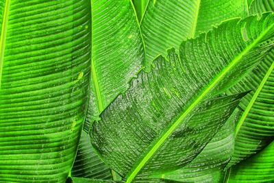 Arte em folhas de bananeiras