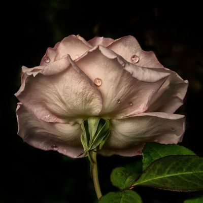 Rosa com orvalho