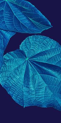 Folhagem de Astrapéia Blue III