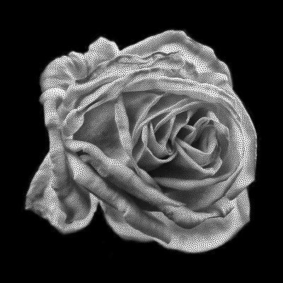 Rosa pontilhada
