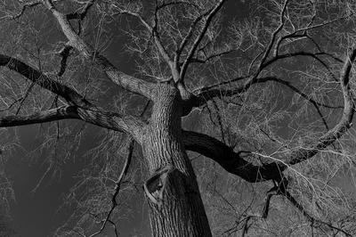 Árvores P&B do Central Park