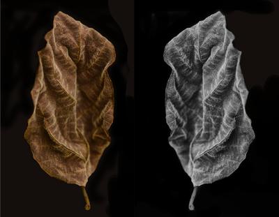 Folhas de Figueira-de-jardim