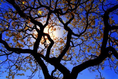 Árvore Florida em Brasília