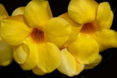 Alamanda amarela