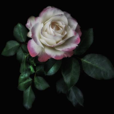 Rosa da Casa das Rosas