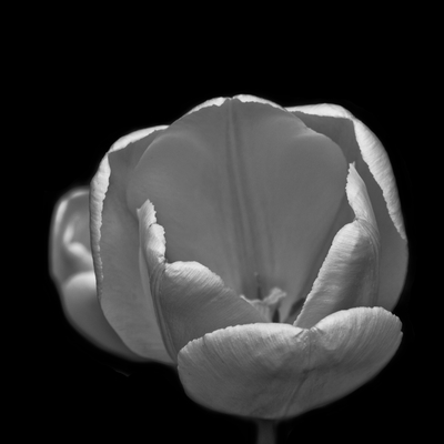 Tulipa branca II