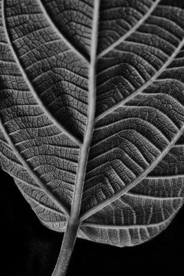 Folha de figueira de jardim iV