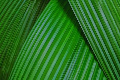 Folhagem de Capim-palmeira