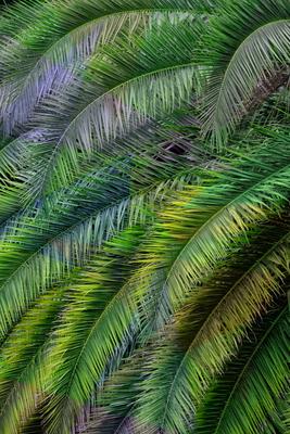 Folhagem de palmeiras