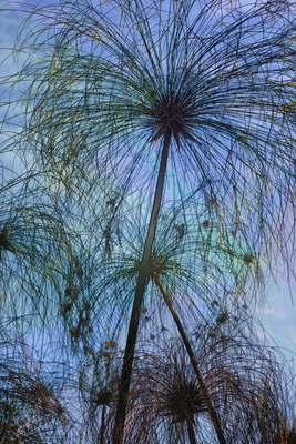 Folhagem de Cyperus Papyrus