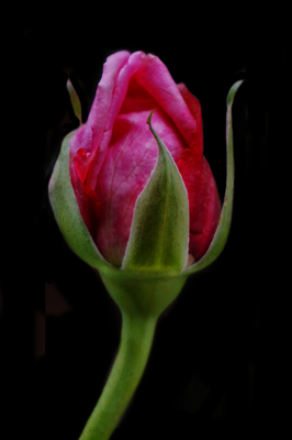 Botão de Rosa