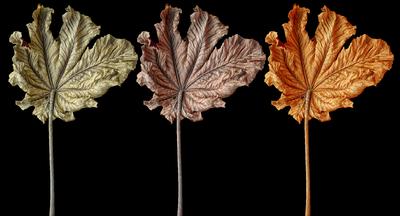 Folhas de Embaúba - Tríptico