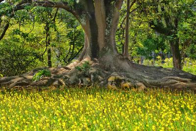 Árvore Ceboleiro (Phytolaca dioica)