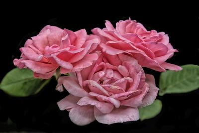 Rosa VII