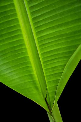 Folha de Bananeira IV