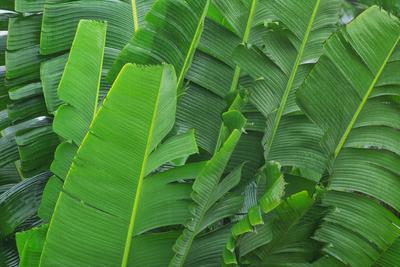 Folha de Bananeira V