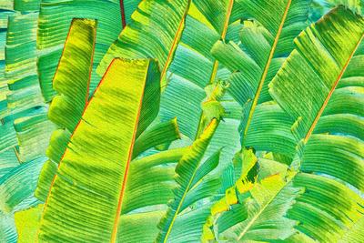 Folha de Bananeira VI