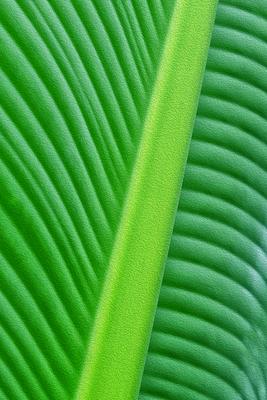 Folha de Bananeira VII