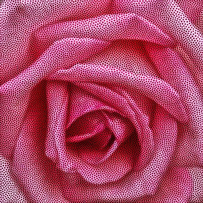 Rosa IX