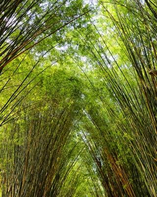 Bosques de Bambu Arashiyama.