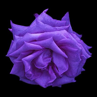 Rosa XI