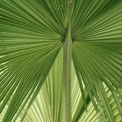 Folhagem de Palmeira-leque
