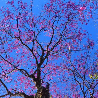 Série Árvores Floridas - Ipê-rôxo