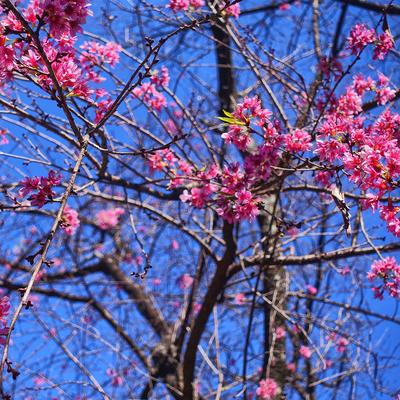 Série Árvores Floridas - Cerejeira