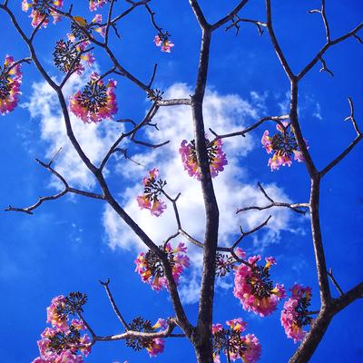 Série Árvores Floridas - Ipê-rosa