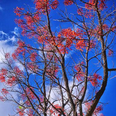 Série Árvores Floridas - Mulungú