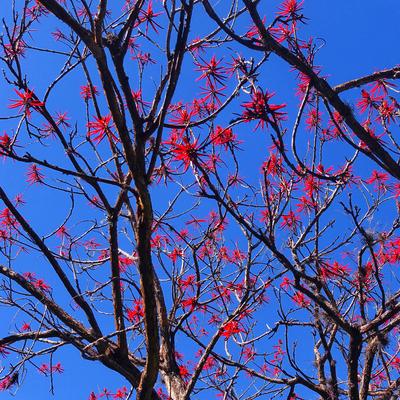 Série Árvores Floridas - Suinã