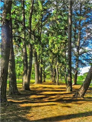 Pinus 2