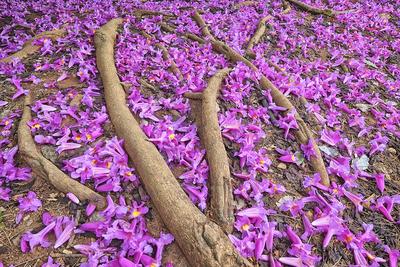 Flores do Ipê-roxo