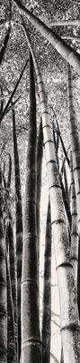 Quadro Bambú Gigante 2