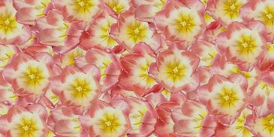 Tulipa-rosa