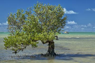 Árvore de mangue - Cumuruxatiba