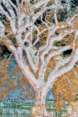 Árvore Tipuana