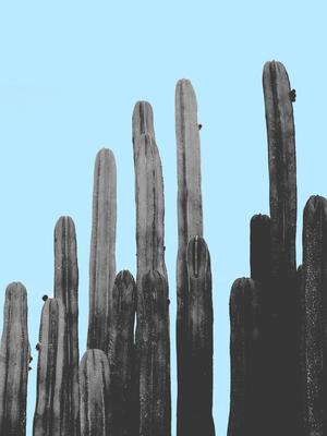 Cactus Grande 2